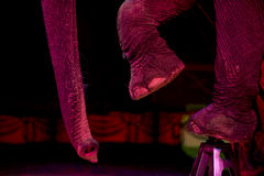 Circus elephant Stock Photo
