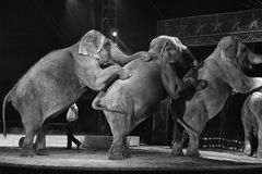 Circus elephant Royalty Free Stock Photography