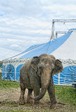 Circus elephant. Old elephant outside the circus tent Stock Photo