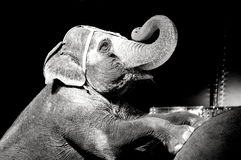 Circus Elephant. A circus elephant performing at Circus World Museum in Baraboo, Wisconsin stock image