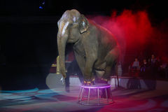 Circus Elephant. An elephant performs during a show at National Circus in Bucharest, Romania royalty free stock images