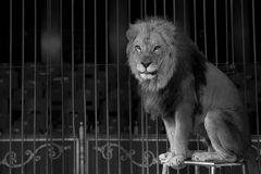 A circus lion portrait in black and white. While looking at you Stock Image