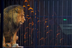 Circus lion portrait in a cage. And audience background Royalty Free Stock Image