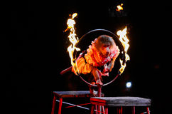 Circus monkey Stock Images
