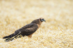 Circus pygargus on the wheat field. Beautiful bird, photo-hunting Royalty Free Stock Photography