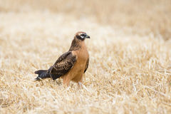 Circus pygargus on the wheat field. Beautiful bird, photo-hunting Stock Images