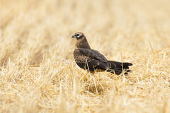 Circus pygargus on the wheat field. Beautiful bird, photo-hunting Stock Photography