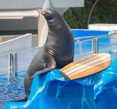Circus sea lion. Stock Photos