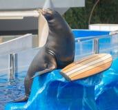 Circus sea lion. Stock Photos