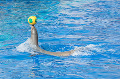 Circus sea lion. Circus sea lion playing with ball in water pool Royalty Free Stock Photo