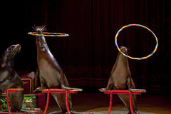 Circus Seal while playing on the black Stock Images