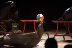 Circus Seal while playing on the black Royalty Free Stock Photo