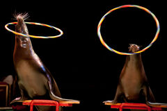 Circus Seal while playing on the black background. Circus Sea Lion Seal while playing on the black background Stock Image