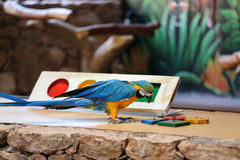 Circus shows of parrots on Fuerteventura Stock Photo