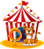 A circus tent at the back of the tiger and the ring of fire. Illustration of a circus tent at the back of the tiger and the ring of fire on a white background Royalty Free Stock Photography