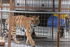 Circus caged tiger. Circus tiger in metal cage looking at you royalty free stock photography