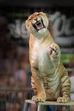 Circus tiger snarling at camera Stock Photo