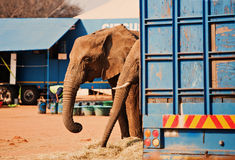 Circus is in town. Two elephants  next to the barracks, behind a truck Loxodonta africana Royalty Free Stock Photos
