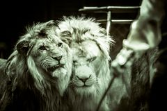 At the circus two male lions face the tamer who holds a whip in his hand in black and white royalty free stock photography