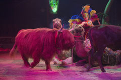 Circus yak. Close up portrait Royalty Free Stock Photography