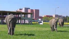 Circusolifanten stock video