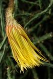 Cirio de floración de noche Fotografía de archivo
