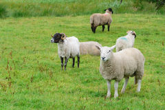 Cirkel av Kerry Sheep royaltyfria bilder