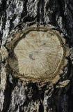 Cirkel av trädskället, når att ha klippt Arkivfoton