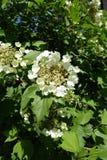 Cirkel av yttre sterila blommor som omger mitten av små fertila blommor av Viburnumopulusen Royaltyfri Bild