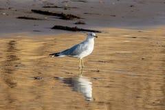Cirkel-fakturerat fiskmåsanseende på den Kalifornien stranden i eftermiddag Arkivfoton