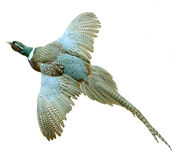 Cirkel-hånglad Pheasant arkivfoton