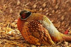 Cirkel-hånglad pheasantPhasianuscolchicus royaltyfria bilder