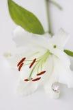 Cirkel i liljan Royaltyfria Bilder