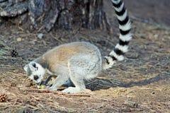 Cirkel tailed lemur Royaltyfria Bilder