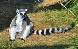 Cirkel Tailed Lemur Royaltyfria Foton
