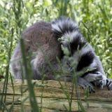 Cirkel tailed lemur   Royaltyfri Fotografi