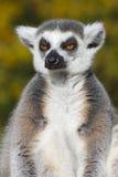 Cirkel-tailed maki (makicattaen) Royaltyfri Fotografi