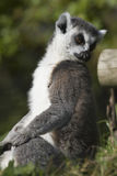 Cirkel-tailed maki (makicattaen) Royaltyfria Bilder