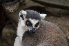 Cirkel-tailed maki som ser till hans sida arkivfoton