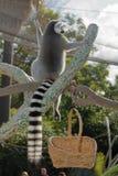 Cirkel-tailed maki som vinkar och sunning Arkivbilder