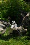 Cirkel-tailed makiställning på ett träd Arkivbild
