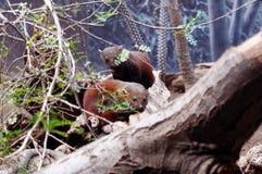 Cirkel-tailed mungor Royaltyfria Bilder