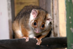 Cirkel-tailed pungråtta Fotografering för Bildbyråer