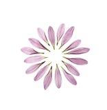 Cirkel van chrysantenbloemblaadjes Royalty-vrije Stock Foto's