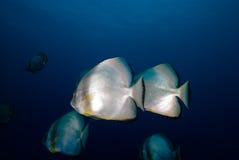 Cirkelbatfish twee (orbicularis Platax) Royalty-vrije Stock Fotografie
