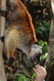 Cirkeln tailed makin i nyfiket är Madagascar Arkivfoto