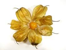 cirkelphysalis Royaltyfria Bilder
