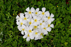 Cirkla vit Plumeria eller frangipanien på gröna Pinto Peanut Royaltyfri Bild