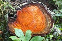 Cirklar på en journal av trä i skog arkivbild