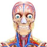 Cirkulations- system av det mänskliga huvudet royaltyfri foto